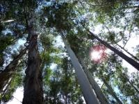 63_eucalyptus03.jpg