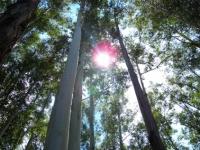 66_eucalyptus01.jpg