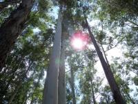 66_eucalyptus02.jpg