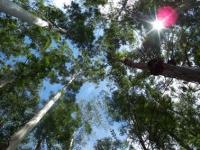 66_eucalyptus04.jpg