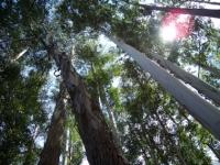 66_eucalyptus05.jpg