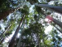 66_eucalyptus06.jpg